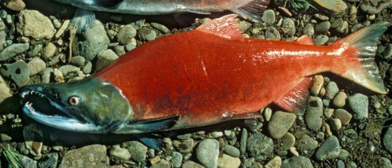 Настоящая красная рыба