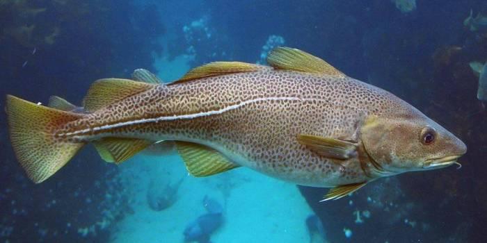 Рыба с характерной полосой