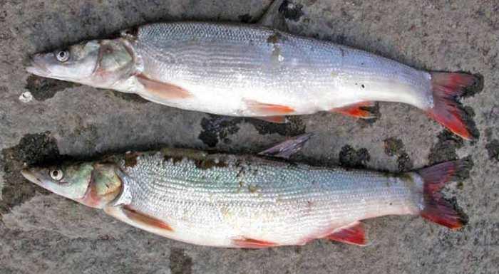 Свежий улов