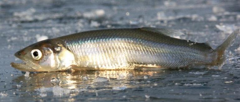 Рыба на льду