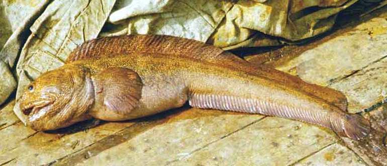 Большая некрасивая рыба