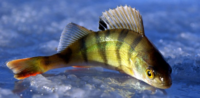 Свежая рыбка