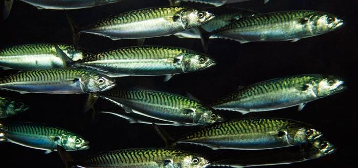Стайная рыба в воде