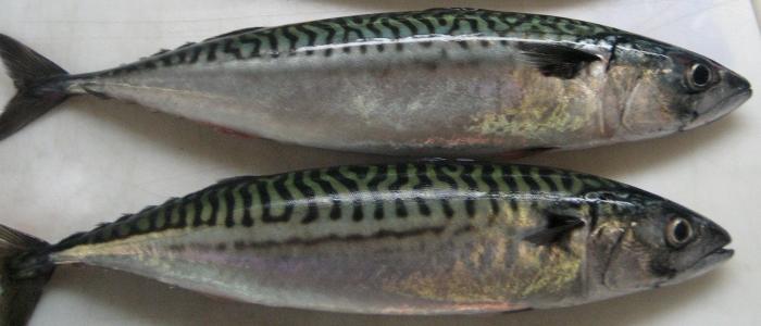 Всем известная рыба
