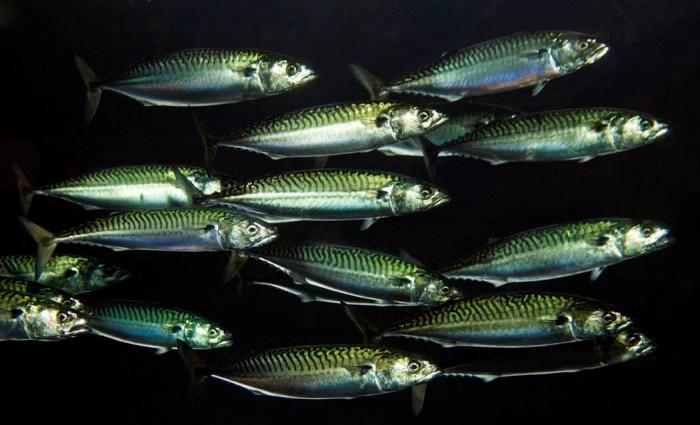 Стайная рыба