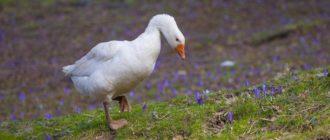 Как закоптить гуся