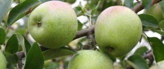 Копчение яблок