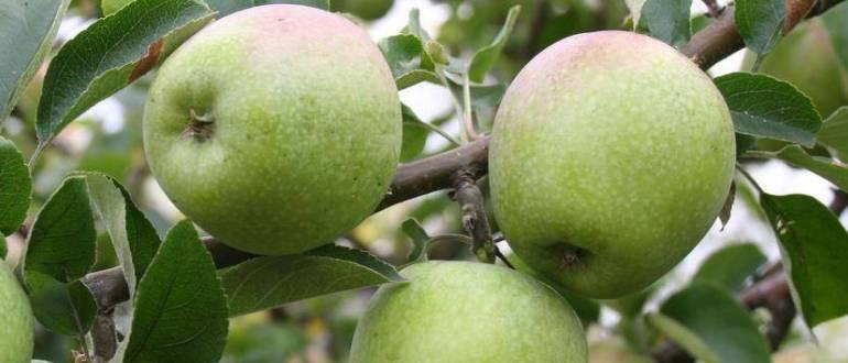 Зрелые плоды