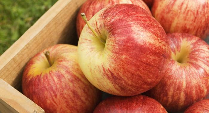 Зимний сорт яблок