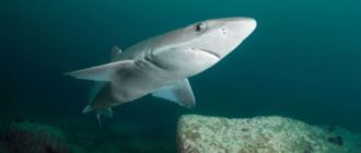 Копченая акула