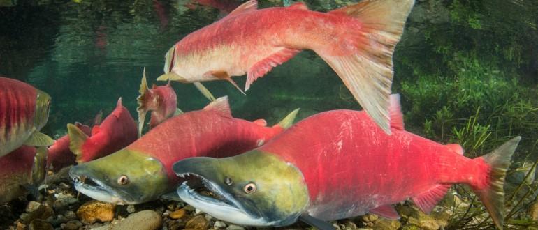 Рыба с красным туловищем