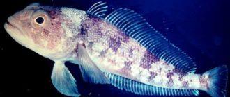 Копчение рыбы нототения
