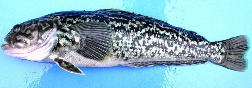 Сырая рыбешка