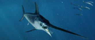 Копченая рыба-меч