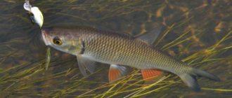 Копчение рыбы голавль в коптильне