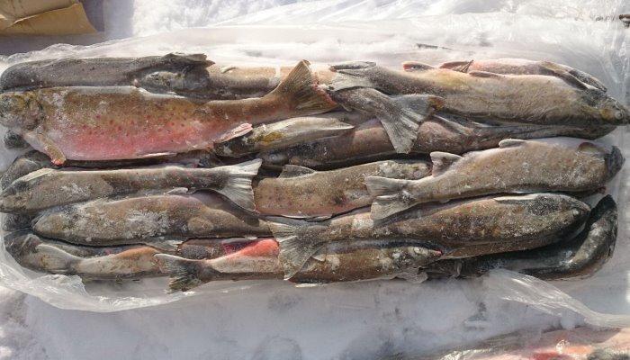 Много замороженной рыбы
