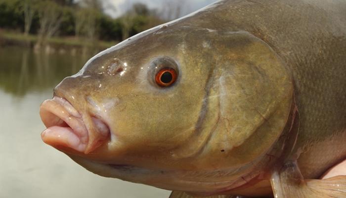 Рыбья голова