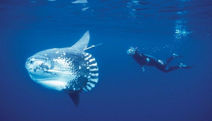 Рыба Mola mola